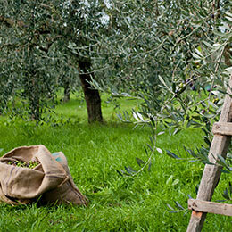 Récolte d'olive bio