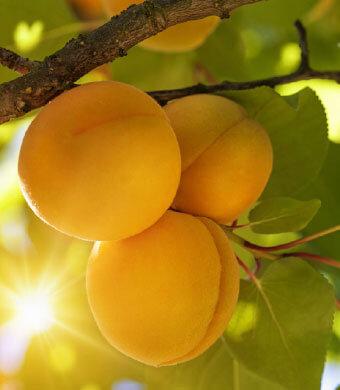 Abricot ingrédient naturel Théophile berthon