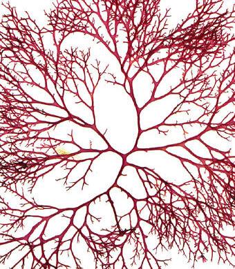 algue : effet anti-âge et tenseur cosmétique naturel Théophile Berthon