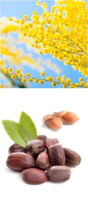 Ingrédients Théophile Berthon : mimosa et jojoba